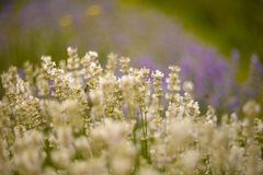 Lavender bushes closeup on sunset. Royalty Free Stock Images