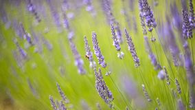 Lavender bushes closeup on sunset. Royalty Free Stock Photos
