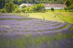 Lavender bushes closeup on sunset. Stock Images