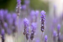Lavender flower field. stock image