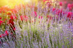 Lavender bushes closeup. Royalty Free Stock Photo