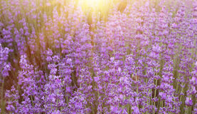 Lavender bushes closeup. Royalty Free Stock Image