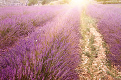 Lavender bushes closeup. Stock Image