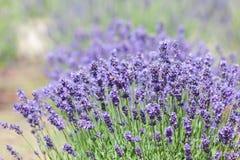 Lavender bushes Royalty Free Stock Photo