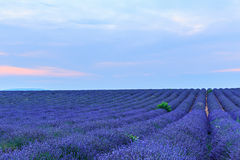 Lavender bushes in long lines Stock Image