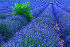 Lavender bushes in long lines Royalty Free Stock Image