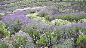 Lavender bushes in profusion in mid summer stock image