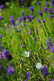 Lavender with butterflies Stock Images