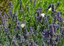 lavender and butterflies Royalty Free Stock Image