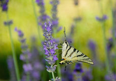 Lavender and butterfly Stock Photos
