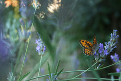 Lavender and butterfly Stock Photography