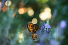 Lavender and butterfly Stock Images