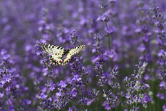 Lavender. Butterfly on a lavender plant in the garden royalty free stock photography