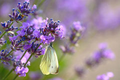 Lavender And Butterfly Royalty Free Stock Photo
