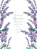 Lavender Card Border. Vector. Gentle blossom floral bouquet. Vintage Label with lavender beautiful fragrance Royalty Free Stock Photos