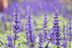 Lavender at Chaing Mai Thailand. On winter royalty free stock photos