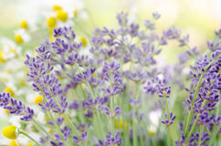 Lavender and chamomile Stock Image