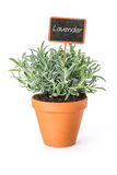 Lavender in a clay pot with a label Stock Image