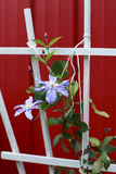 Lavender clematis climbing a trellis. With red background Stock Photos