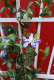 Lavender clematis climbing a trellis. With red background Stock Images