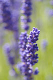 Lavender Close Stock Images