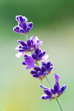 Lavender close up Royalty Free Stock Image