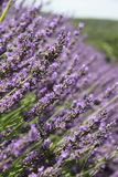 Lavender close-up Stock Images