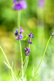 Lavender. Close up of a lavender flower Royalty Free Stock Photo