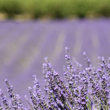 Lavender in close up, flower field. Royalty Free Stock Photo