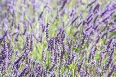 Lavender close up Stock Photos