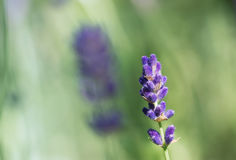 Lavender flower in close-up Royalty Free Stock Images