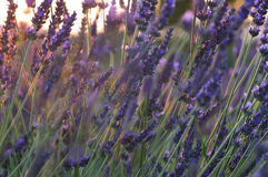 Lavender close-up sunset Stock Photos