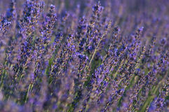 Lavender closeup Stock Photos