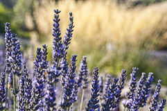 Lavender closeup Royalty Free Stock Images
