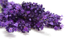 Lavender in closeup Stock Images