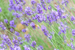 Lavender closeup with a bee Stock Photography
