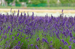 Lavender closeup Royalty Free Stock Photography