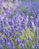 Lavender closeup stock photo