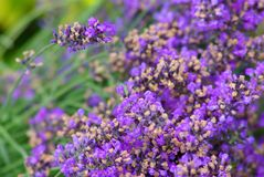 Lavender closeup. Violet lavender flowers in closeup Royalty Free Stock Photo