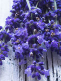 Lavender closeup Stock Photo