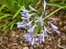 Lavender Color Flowers in the garden royalty free stock photos