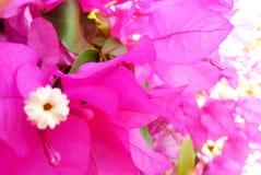 Lavender Color Petals in Garden. Lavender color petals flower in garden stock images