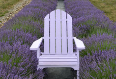 Lavender colored Adirondack chair centered in lavender rows Royalty Free Stock Images