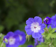 Lavender-Colored Geranium Stock Photos