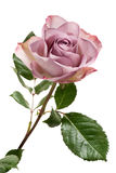 Lavender Colored Rose on White Background Stock Photo