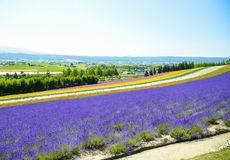 Lavender and colorful flower in the field. 7 Stock Photo