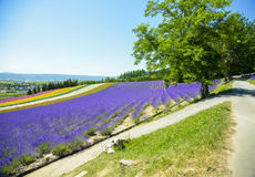 Lavender and colorful flower in the field. 1 Royalty Free Stock Photo