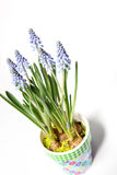 Lavender in a colorful pot from above Stock Image