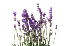 Lavender. Coloured Flower Isolated Plant Purple Remote royalty free stock image