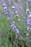 Lavender Coommon Στοκ εικόνα με δικαίωμα ελεύθερης χρήσης
